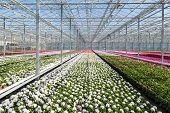 pic of geranium  - Big Dutch Greenhouse with colorful geranium plants - JPG