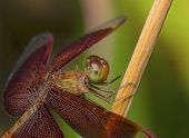 picture of ruddy-faced  - red dragonfly resting on a tree branches - JPG