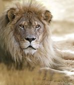 stock photo of lions-head  - Lion portrait - JPG