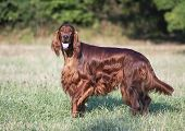 Irish Setter Looking