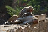 Rhesus macaque grooming a male
