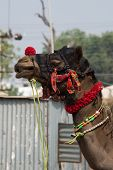 Head of decorated Indian camel