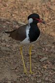 Red-wattled lapwing on ground