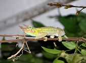 Chameleon, Three Horned