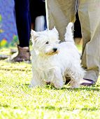 image of westie  - A view of a small young and beautiful West Highland White Terrier dog standing on the lawn - JPG