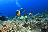 Anemones, Clownfish underwater on coral reef with scuba diver