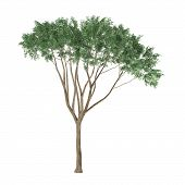 Tree isolated. Ulmus Campestris