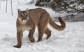 image of wildcat  - Cougar, Puma, Panther, Mountain Lion in the snow.