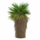 picture of washingtonia  - Palm tree isolated - JPG