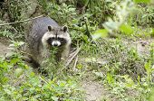 Raccoon Walking Through A Green Meadow