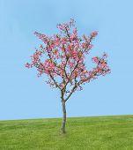 peach blossom bloom in an lawn