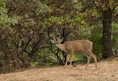 foto of black tail deer  - a wild indigenous male  - JPG
