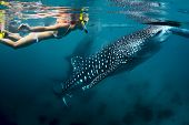 picture of cebu  - Young lady snorkeling with whale shark - JPG