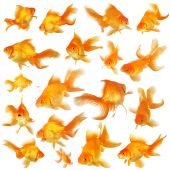image of fantail  - Collage of beautiful orange fantail goldfish all of different poses - JPG