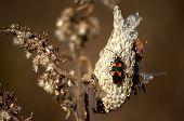Milkweed Bug On A Pod