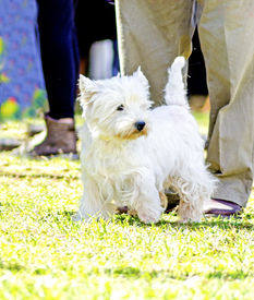 foto of westie  - A view of a small young and beautiful West Highland White Terrier dog standing on the lawn - JPG