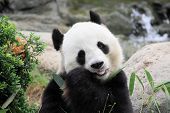 beautiful panda