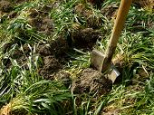 pic of fertilizer  - digging of green manure into the soil for fertilizing - JPG