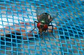 stock photo of blowfly  - Fly on blue net show animal and nature concept - JPG