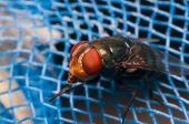 pic of blowfly  - Fly on blue net show macro of fly  - JPG
