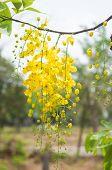 Cassia Fistula Or Shower Flowers