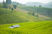 Terrace Rice Field With Shack