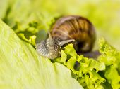 stock photo of hermaphrodite  - Brown Burgundy snail eating a lettuce leaf - JPG