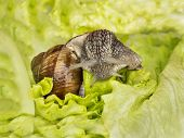 picture of hermaphrodite  - Burgundy snail eating a lettuce leaf - JPG