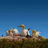 picture of gannet  - Resting gannet family in blue sky Germany 2014 - JPG