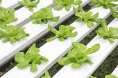 Hydroponics Vegetable Farm