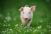 stock photo of piglet  - Young pig on a spring green grass