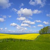 seaside canola field
