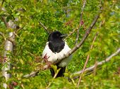 Magpie On Tree Branch