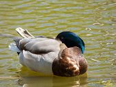 Sleeping Duck On Pond