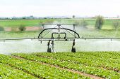 watering lettuce fields
