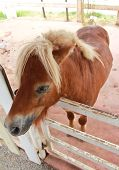 One Dwarf  Horse In Corral