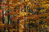 Autumn maple trees with orange foliage in sunny fall forest of Algonquin provincial park, Ontario, C