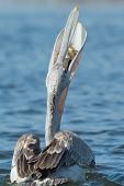 Pink-backed Pelican Swallowing With Fish Visible