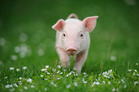 picture of pig  - Young pig on a spring green grass  - JPG