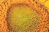 Sunflower macro shot,closeup of the beautiful sunflower