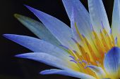 picture of lily  - Nymphaea caerulea - JPG