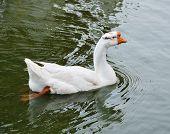 White Duck Swimming