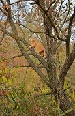 Red cat is climbing the tree in autumn