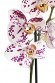picture of horticulture  - The Moth Orchid  - JPG