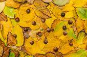 Autumn Leaves (actinidia)background, Texture With Acorns