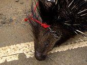 Closeup Of An Asian Porcupine