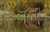 Wild Horse Reflection