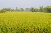 Paddy Rice Field In Morning