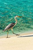 Heron walking on a tropical beach, nature background