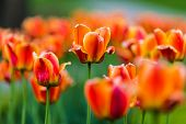 picture of orange blossom  - Couples of orange tulips with one tulip in the middle